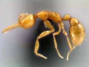 Semut Species Baru - Picture of Martialis heureka Christian Rabeling, the University of Texas at Austin